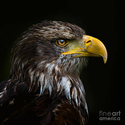 Poster featuring the photograph Bald Eagle by Joerg Lingnau
