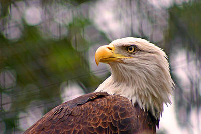 Bald Eagle Majestic Poster by David Rucker
