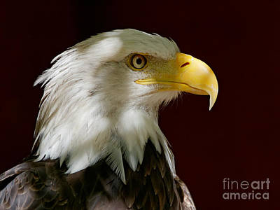 Bald Eagle - Majestic Portrait Poster
