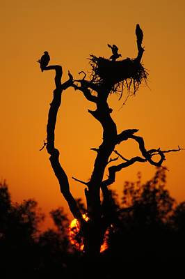 Poster featuring the photograph Bald Eagle Nestling At Sunset by Lynda Dawson-Youngclaus