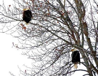 Poster featuring the photograph Bald Eagle Pair by Will Borden