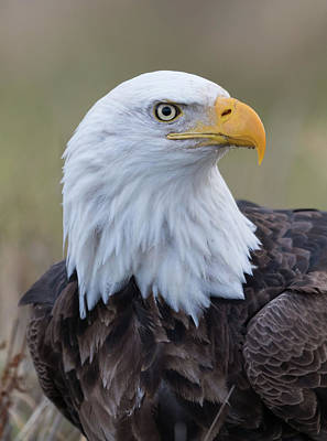 Poster featuring the photograph Bald Eagle Portrait 2 by Angie Vogel