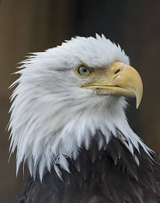 Bald Eagle Portrait Poster