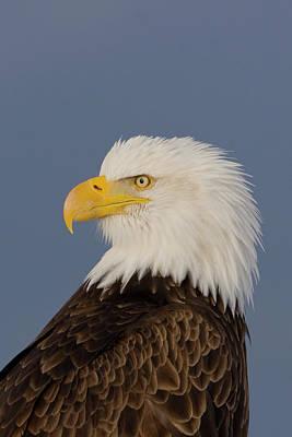 Bald Eagle Portrait Poster