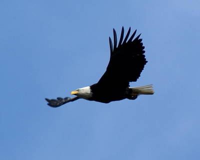 Poster featuring the photograph Bald Eagle Soaring High by Ben Upham III