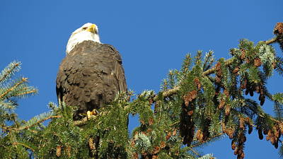 Bald Eagle Sunbathing Poster