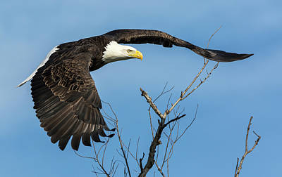 Bald Eagle Swoosh Poster