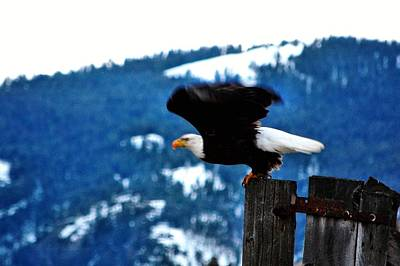 Bald Eagle Take-off Poster