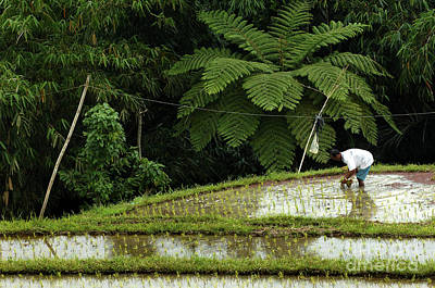 Bali Indonesia Rice Field Poster by Bob Christopher