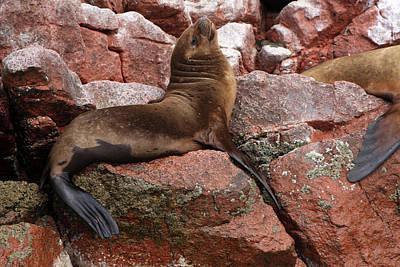 Ballestas Island Fur Seals Poster by Aidan Moran