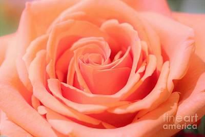 Ballet Pink Satin Rose Poster