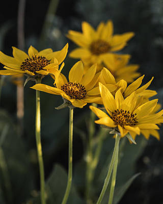 Balsamroot Bloom On A Spring Evening Poster by Vishwanath Bhat