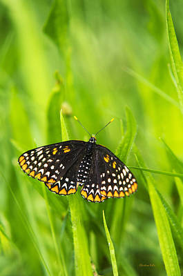 Baltimore Checkerspot Butterfly Poster by Christina Rollo
