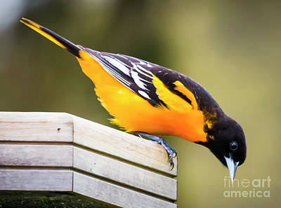 Poster featuring the photograph Baltimore Oriole About To Jump by Ricky L Jones