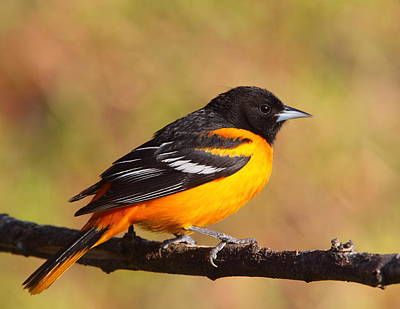 Baltimore Oriole IIi Poster