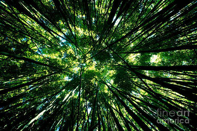 Bamboo Forest Poster by Dave Fleetham - Printscapes
