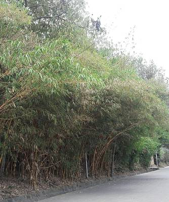 Bamboo Street Poster