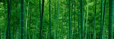 Bamboo Trees In A Forest Poster