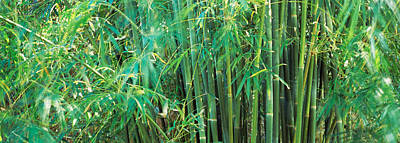 Bamboos In A Forest Poster by Panoramic Images