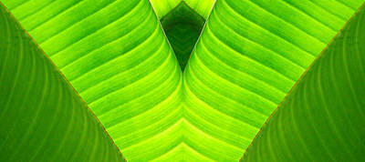 Banana Leaf Abstract 2 Poster