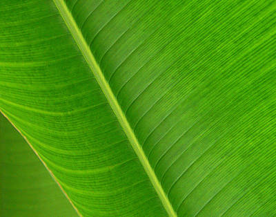 Banana Leaf Abstract Poster