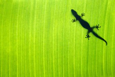 Banana Leaf Gecko Poster