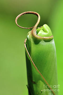 Banana Palm Frond Ready To Unfurl Poster