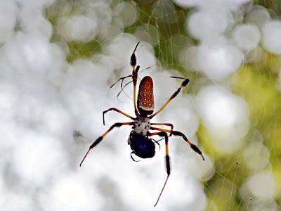 Banana Spider Lunch Time 2 Poster