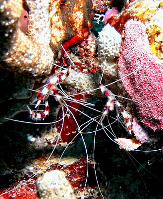 Banded Coral Shrimp - Caught In The Act Poster by Amy McDaniel