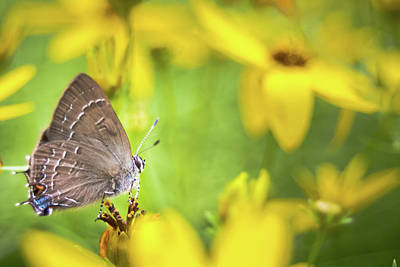 Banded Hairstreak On Coreopsis Poster