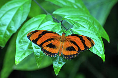 Banded Orange Longwing Butterfly Poster by Cheryl Cencich