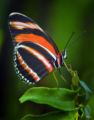 Banded Orange Longwing Butterfly Poster