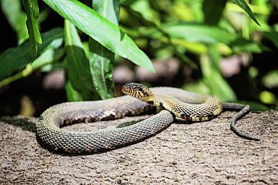 Banded Water Snake - Louisiana Poster by Scott Pellegrin