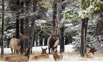 Banff Bull Elk With Cow Elk Poster by Sam Amato