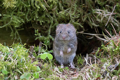 Poster featuring the photograph Bank Vole - Scottish Highlands by Karen Van Der Zijden