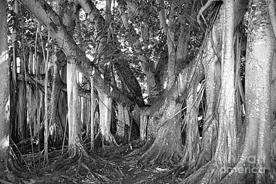 Banyan Tree Beauty In Black And White Poster