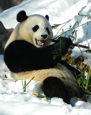 Bao Bao Sittin' In The Snow Taking A Bite Out Of Bamboo2 Poster