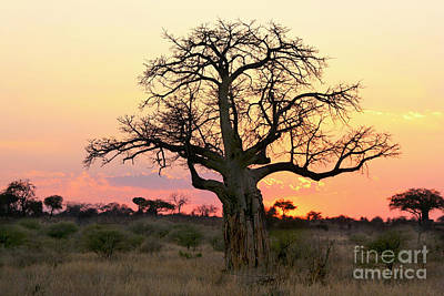 Baobab Tree At Sunset  Poster