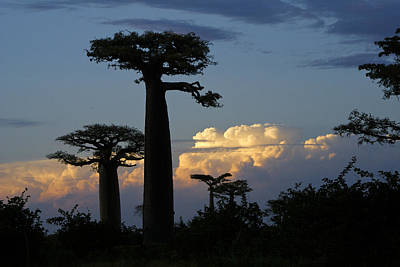 Baobabs And Storm Clouds Poster by Michele Burgess