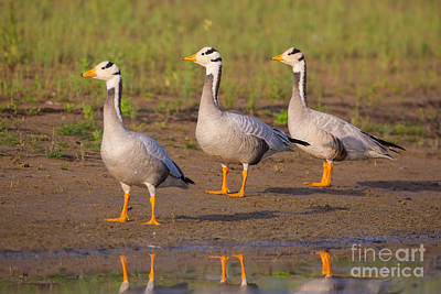 Bar-headed Geese, India Poster by B. G. Thomson