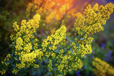 Barbarea Vulgaris - Yellow Rocket  Garden Flower Poster by Jennifer Rondinelli Reilly - Fine Art Photography