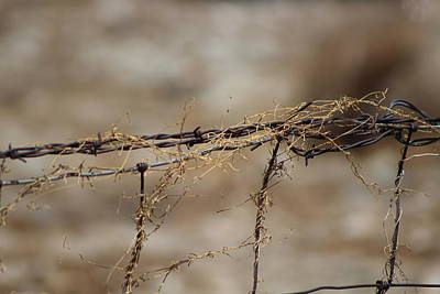 Barbed Wire Entwined With Dried Vine In Autumn Poster