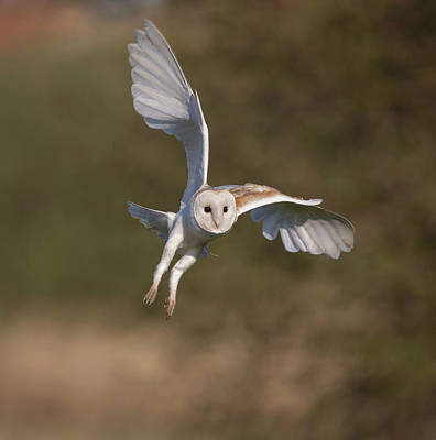 Barn Owl Cornering Poster