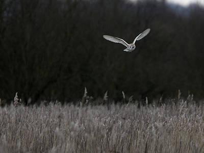 Barn Owl Hunting At Dusk Poster