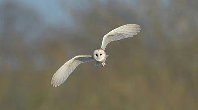 Barn Owl Hunting In Worcestershire Poster