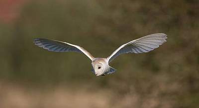 Barn Owl Quartering Poster