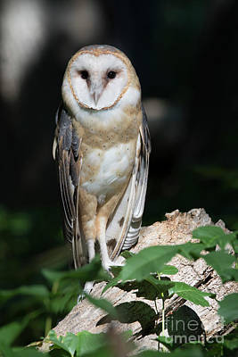 Barn Owl Watching From Log In Forest Poster