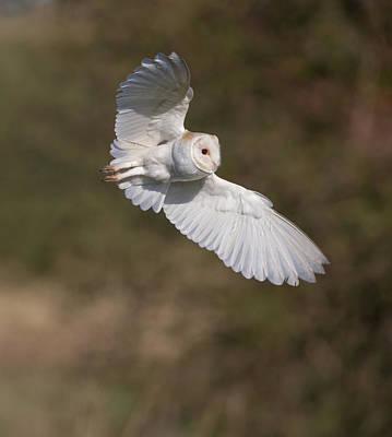 Barn Owl Wings Poster