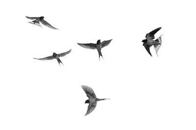 Barn Swallow Acrobatics In The Sky Poster by Dan Friend