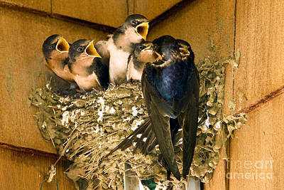 Barn Swallow Appetites Poster by Marland Howard